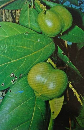Fruto del árbol de nuez caldereña, cada fruto lleva tres almendras en su interior. Foto: Texto. Jesús Hoyos.